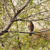 Red-shouldered Hawk in the LA River