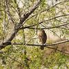 Red-shouldered Hawk in the LA River