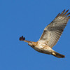red-tailed-hawk19