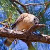 Red Shoulder Hawk pruning