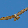 red-tailed-hawk39