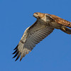 red-tailed-hawk18