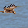 Red-tailed hawk (55)