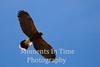 Hawk harris's (Parabuteo unicinctus)