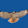 red-tailed-hawk38