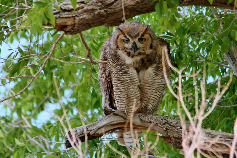 Great Horned Owl (67)