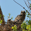 Great Horned Owlet (27)