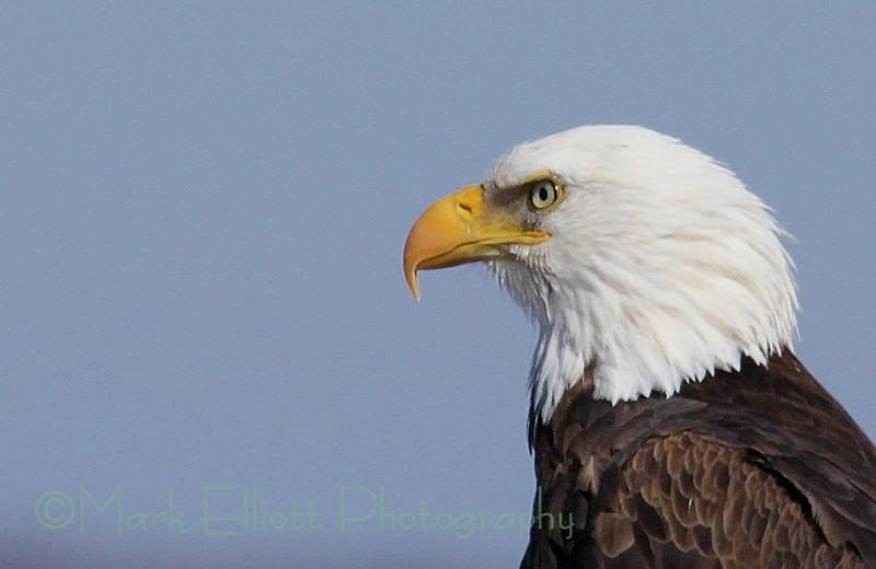 Bald Eagle (308)