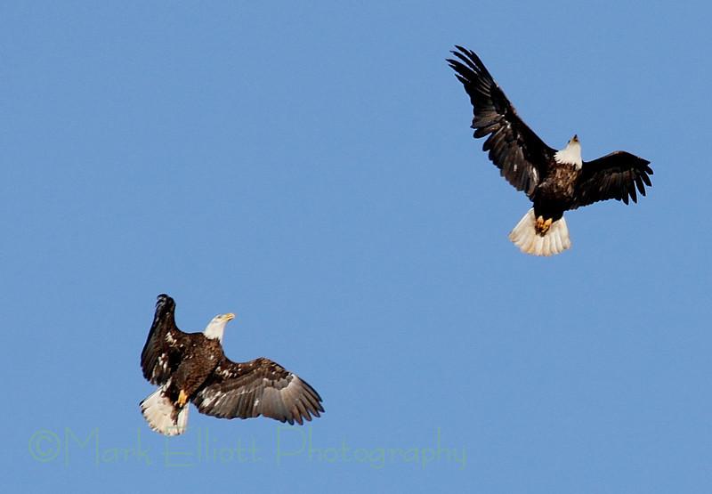 Bald Eagle (210)