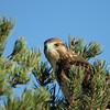 Swainson's Hawk (56)