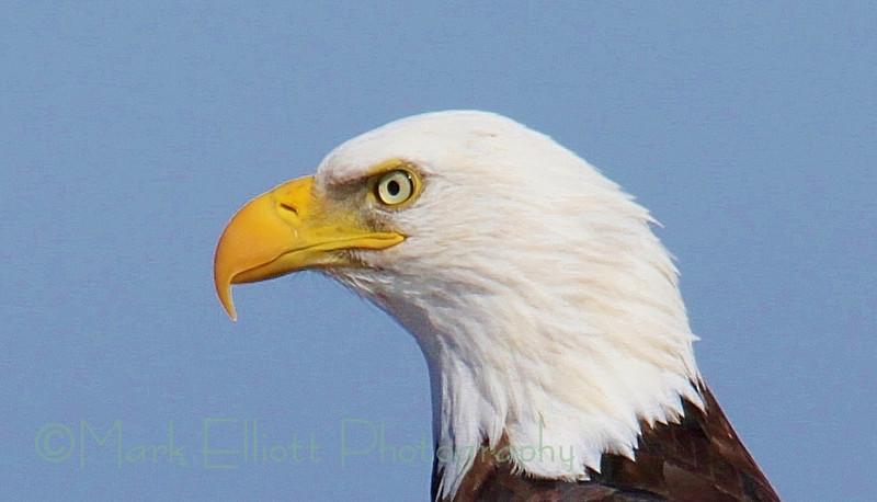 Bald Eagle (318)