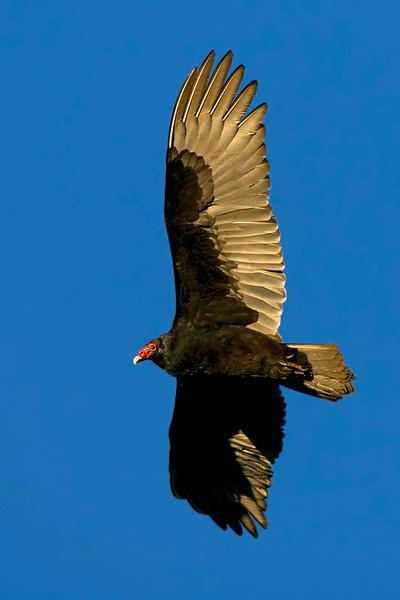 turkey-vulture1