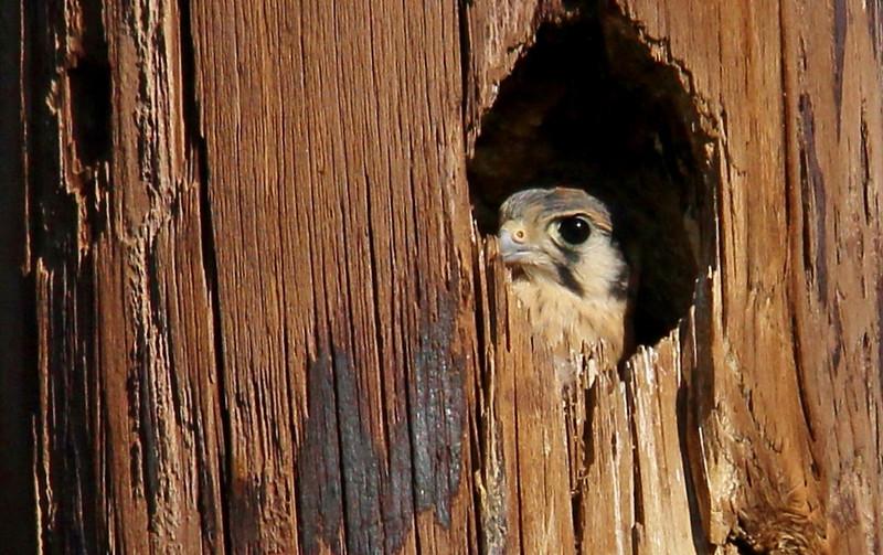 American Kestrel (2)
