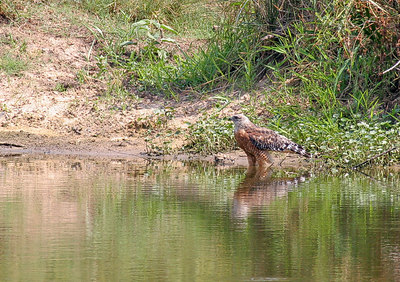 """Red-Shouldered Hawk taking a drink at my Pond"" Taken with my 400 f/5.6L Lens+a Tamron 1,4xTC."