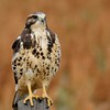 Swainson's Hawk (110)