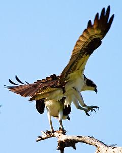 Osprey grip