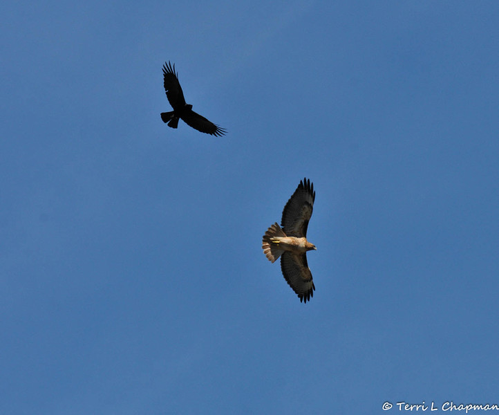 A Red-tailed Hawk being chased by an American Crow