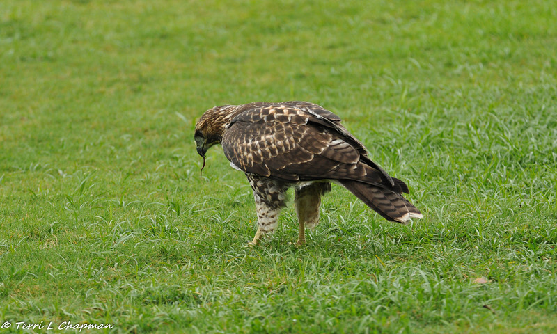 A Red-tailed Hawk (juvenile) eating a worm
