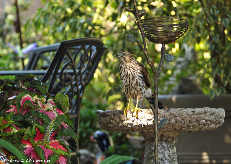 A juvenile Cooper's Hawk in the bird bath of my backyard