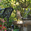 A juvenile Cooper's Hawk in the bird bath of my backyard