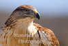 Hawk ferruginous (Buteo regalis)