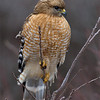 red-shouldered-hawk1c