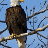 Bald eagle Lake Hefner