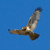 red-tailed-hawk10