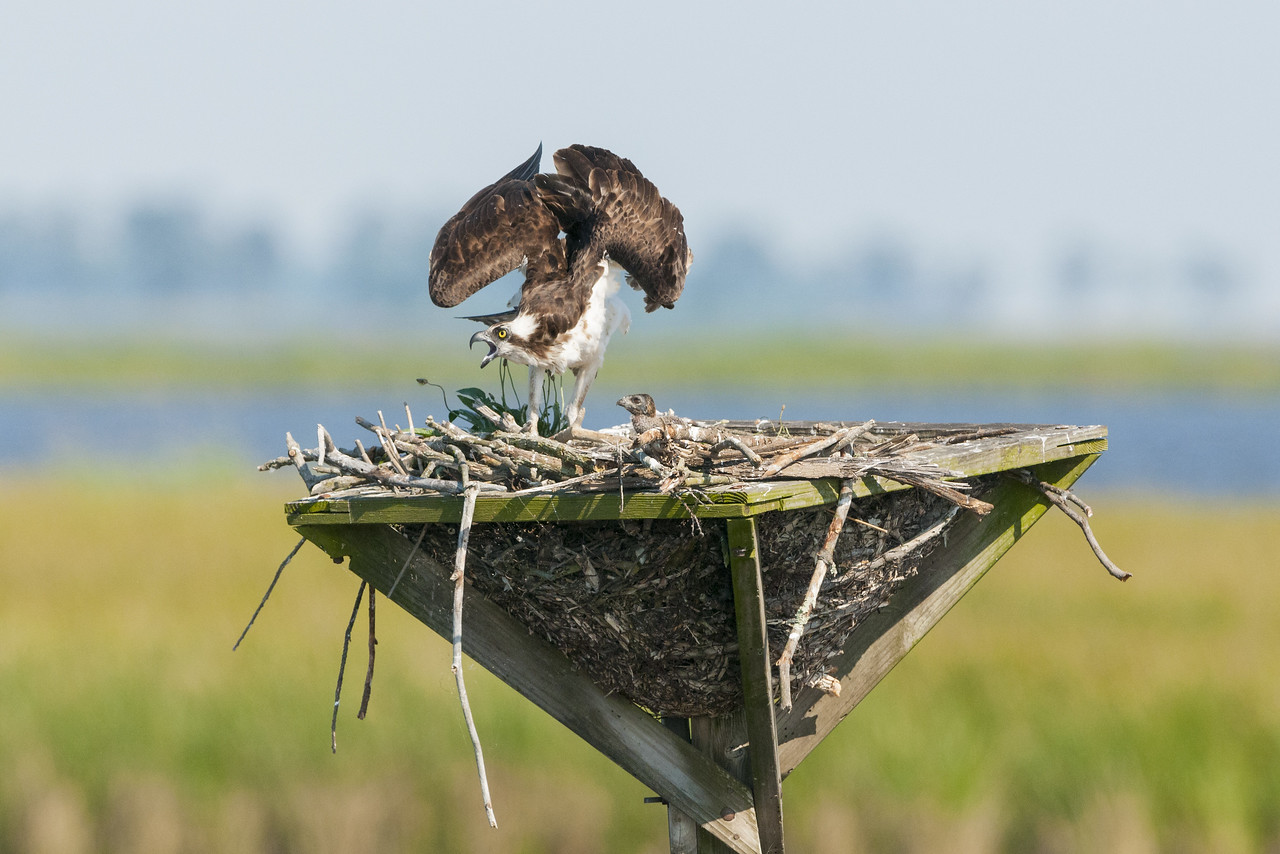 Osprey Mother Protecting Her Chick