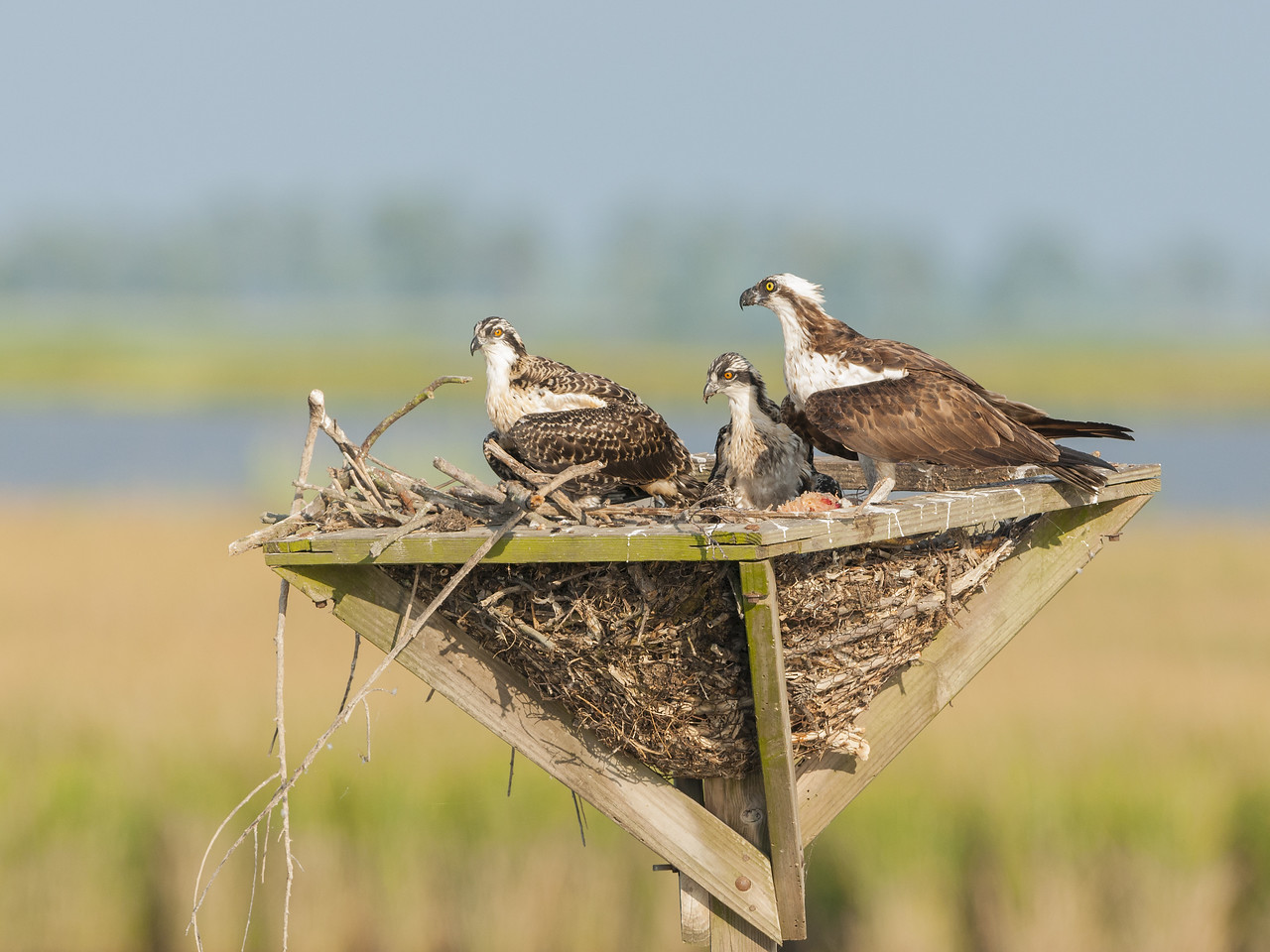 Osprey Parents and Chick