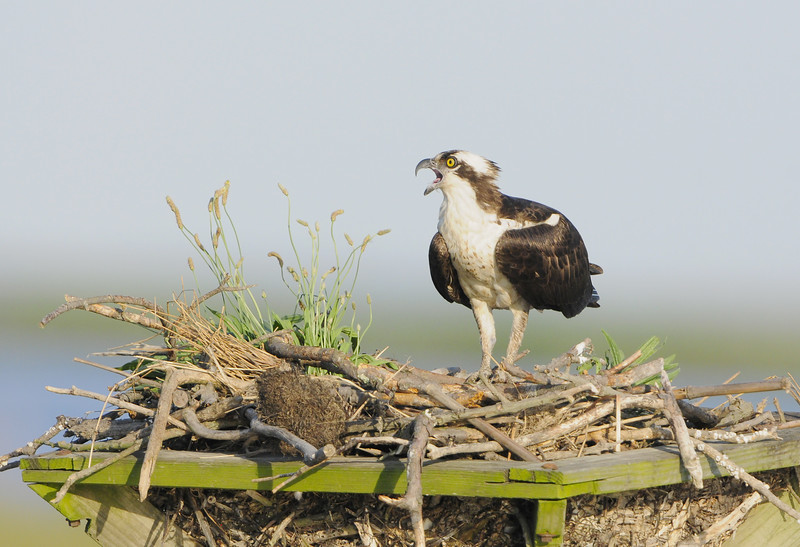 Osprey Mother Calling Her Mate