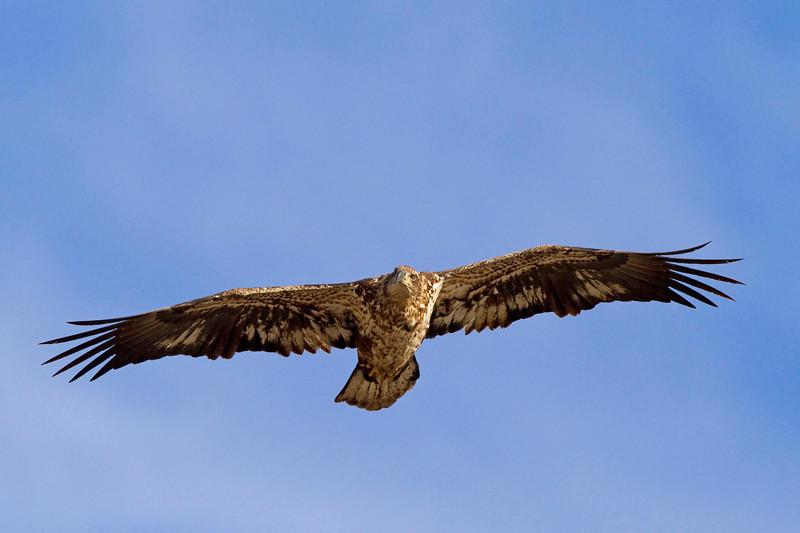 eagle39