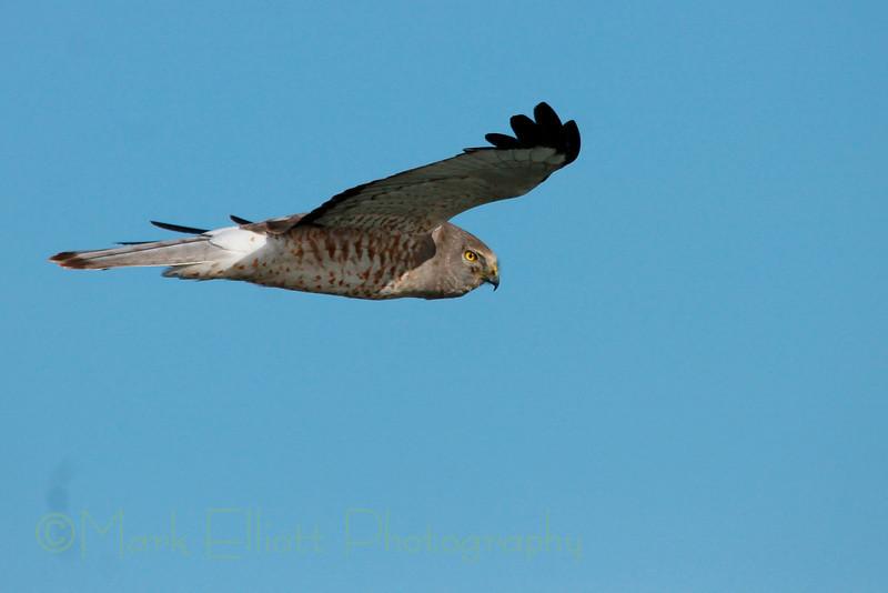 Northern Harrier (29)