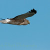 Northern Harrier (29)