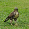 A Red-tailed Hawk (juvenile) hunting for worms on the lawn of the LA Arboretum