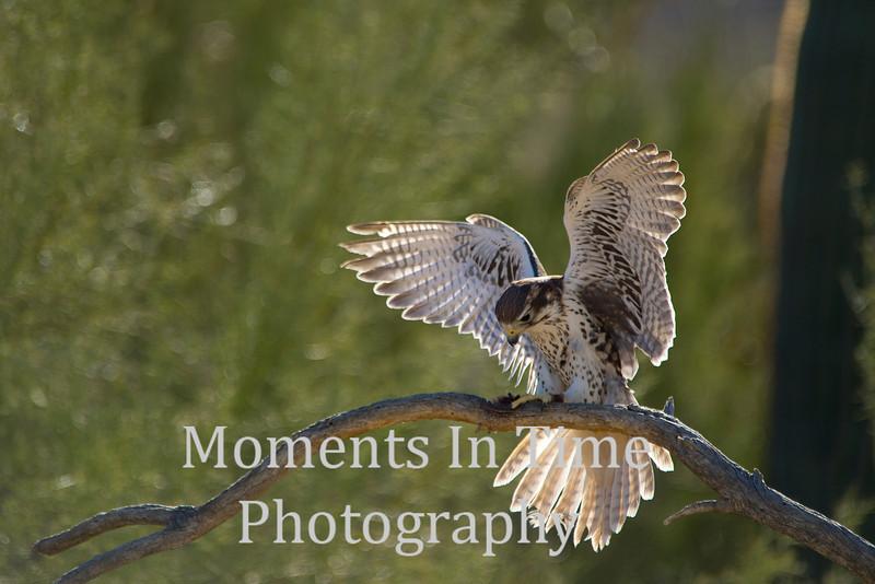 Hawk ferruginous (Buteo regalis)