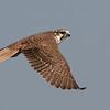prarie-falcon2