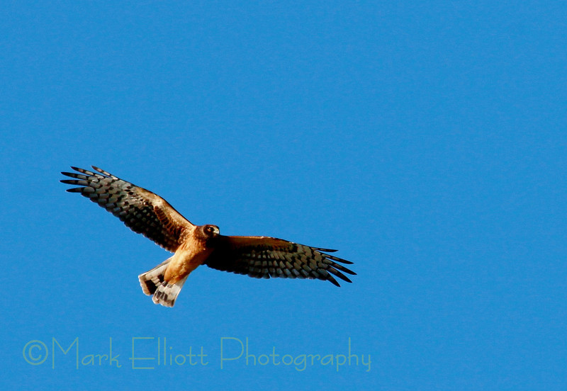 Northern Harrier (21)