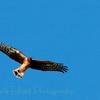 Northern Harrier (21)
