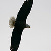 Bald eagle (Lake Arcadia)