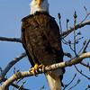 eagle26