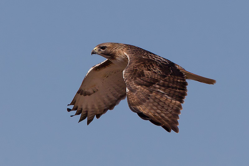 red-tailed-hawk43
