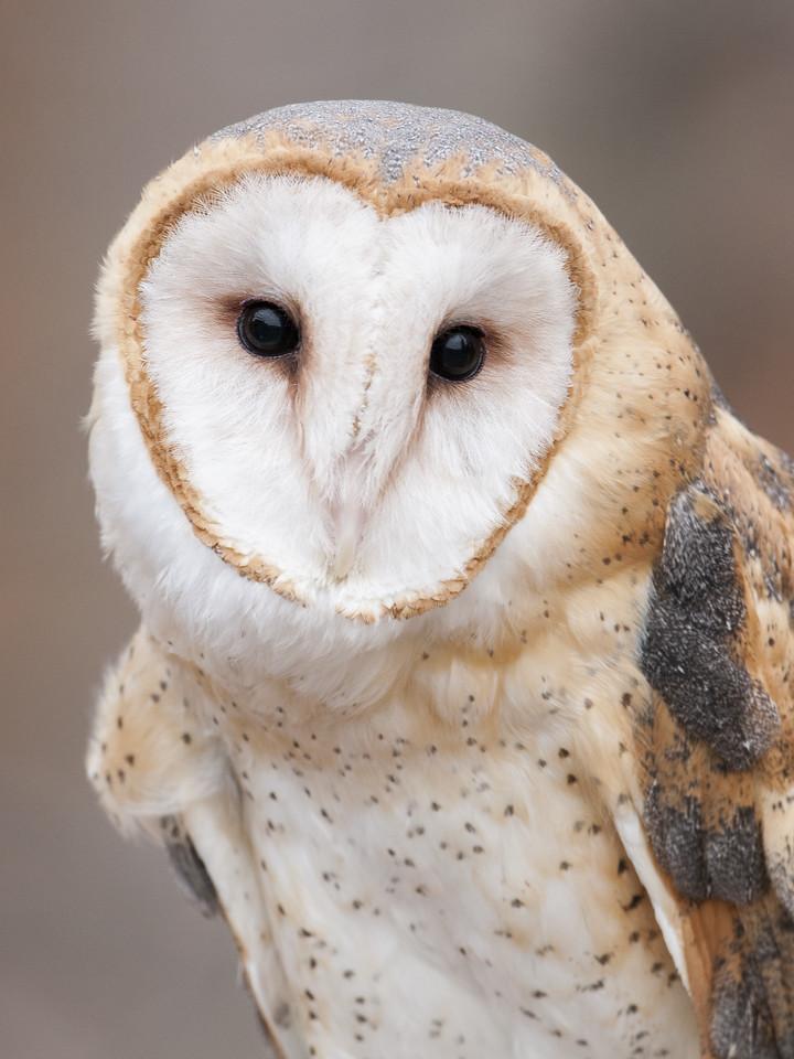Barn Owl - (Captive)