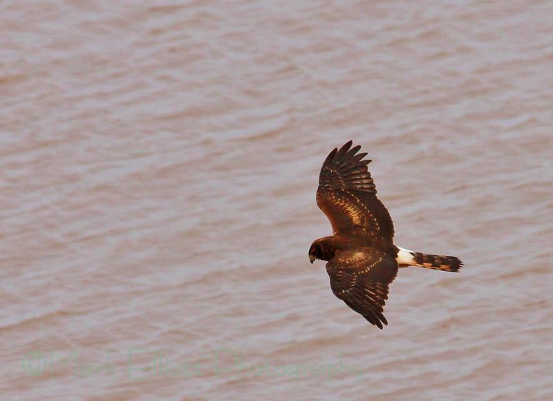 Northern Harrier (31)