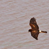 Northern Harrier (31)