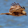 Red-tailed hawk (49)
