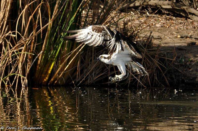 An Osprey just coming out of the lake after catching a fish.