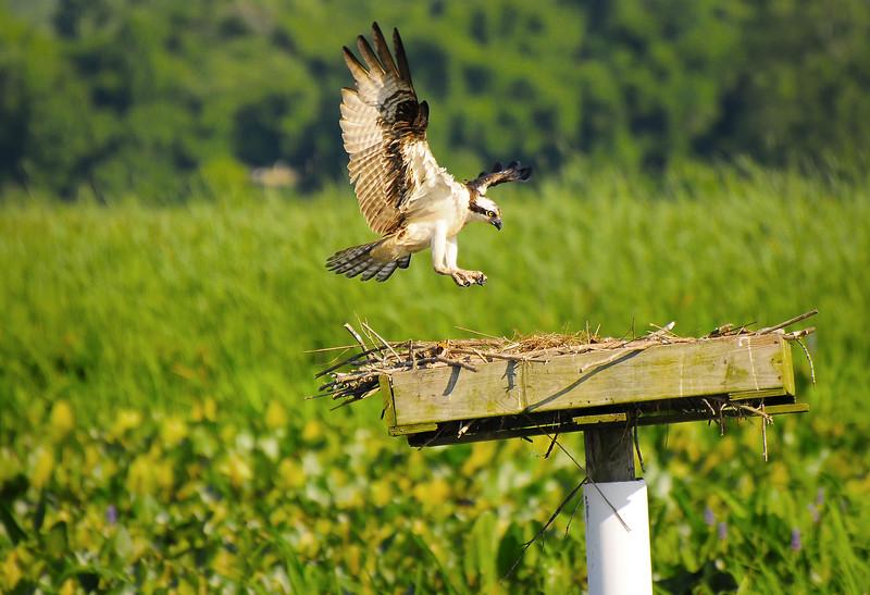 Osprey Landing on a Nesting Platform