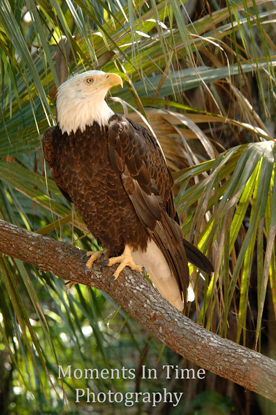 Bald eagle with palm