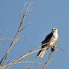 A White-tailed Kite with field mouse